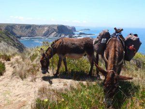 Esel an der Frauenwanderung Algarve