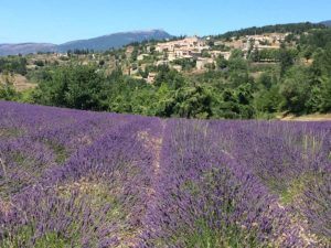 Lavendelblüte Provence